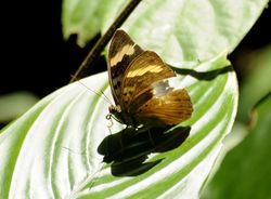 COMMON BLUE-BANDED FORESTER