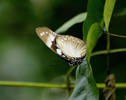 VARIABLE EGGFLY