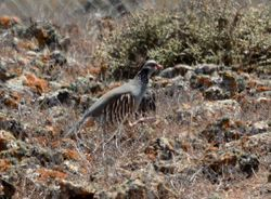 Barbary Partridge, Alectoris barbara