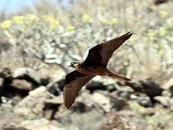 Eleonora's Falcon, Falco eleonorae