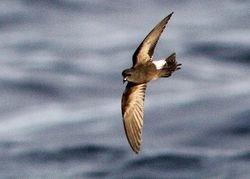 Wilson's Storm-Petrel, Oceanites Oceanicus