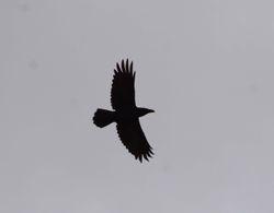 Common Raven , Corvus corax