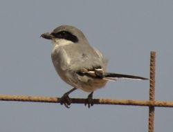 Southern Grey Shrike , Lanius meridionalis
