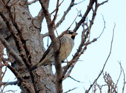 Spanish Sparrow, Passer hispaniolensis