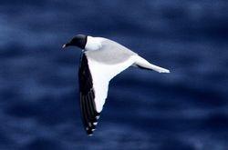 Sabine's Gull, Larus sabini