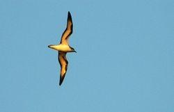 Barau's Petrel,  Pterodroma baraui