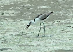 Crab Plover on Mahe, Seychelles