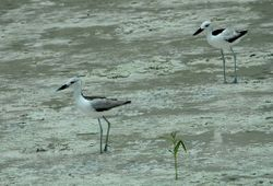 Crab Plovers on Mahe, Seychelles