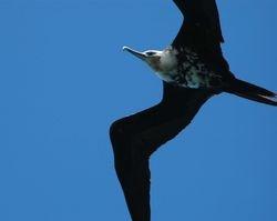Great Frigatebird on Aride