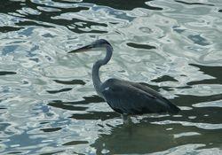 Grey Heron on Mahe, Seychelles