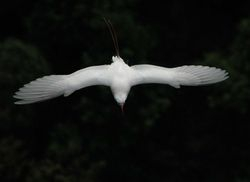 Red-tailed Tropicbird on Rodrigues