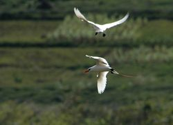 Red-tailed Tropicbirds on Rodrigues