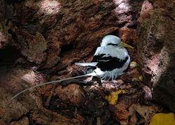 White-tailed Tropicbird on Aride, Seychelles