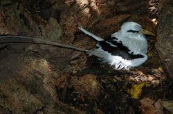 White-tailed Tropicbird on Aride