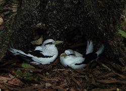 White-tailed Tropicbird, Phaethon lepturus