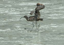 Whimbrels fighting on Mahe