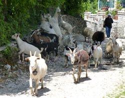 herding goats outside ancient church
