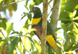 Yellow-bibbed Fruit-Dove
