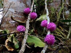 flowering vines near Sandakan