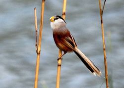 Reed Parrotbill at lake Hengshui