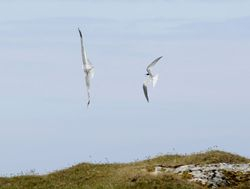 Arctic Tern chasing off a Common Gull