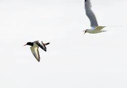 Common Gull chasing Oystercatcher