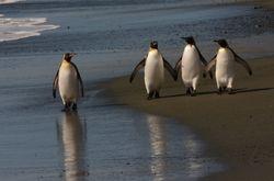 King Penguins on Macquarie Island