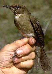 Thrush caught in Beni, Bolivia