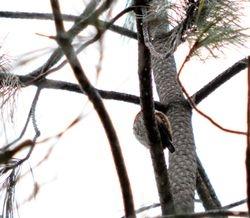 Mountain Pygmy Owl