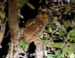 Pacific Screech Owl, Megascops cooperi