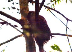 Fulvous Owl, Strix fulvescens