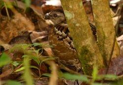 Singing Quail, Dactylortyx thoracicus