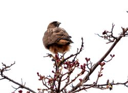Red-tailed Hawk, Buteo jamaicensis,