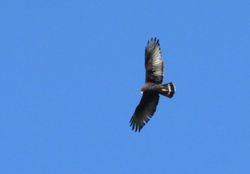 Zone-tailed Hawk, Buteo albonotatus