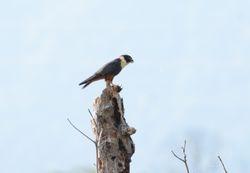 Bat Falcon, Falco rufigularis