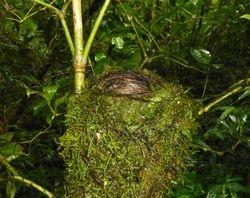 Green-backed Robin's nest