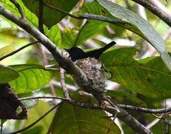 Biak Black Flycatcher, Myiagra atra