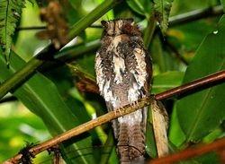 Feline Owlet-Nightjar, Aegotheles insignis
