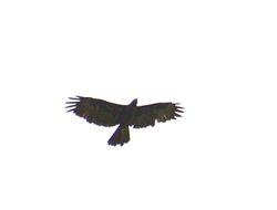 Gurney's Eagle, Aquila gurneyi