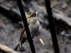 Magnificent Bird of Paradise, Cicinnurus magnificus