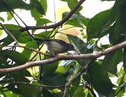 Numfor Leaf Warbler, Phylloscopus (poliocephala) maforensis