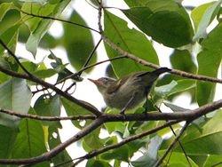 Numfor Leaf-Warbler