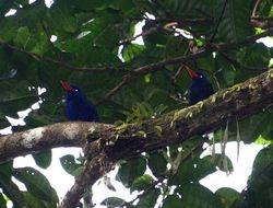 Numfor Paradise-Kingfisher, Tanysiptera carolinae