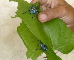 weevils on Numfor