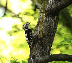 female Woodpecker, probably Great Spotted