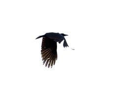 Slender-billed Crow, Corvus enca