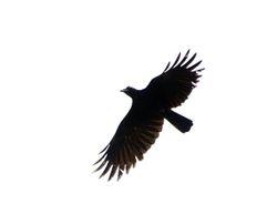 Slender-billed Crow