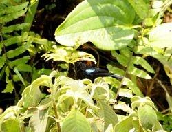 Black Sunbird, Leptocoma sericea auriceps