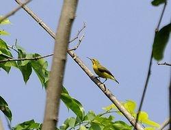female Olive-backed Sunbird, Cinnyris jugularis robustirostris