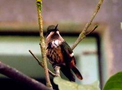 Festive Coquette, Lophornis chalybeus